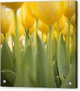 Under Yellow Tulips Acrylic Print