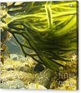 Underwater Shot Of Green Seaweed Attached To Rock Acrylic Print