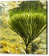 Underwater Shot Of Seaweed Plant Surface Reflected Acrylic Print