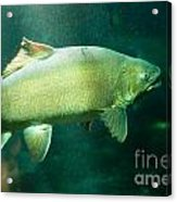 Underwater Shot Of Trophy Sized Tiger Trout Acrylic Print