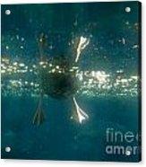 Underwater View Of Duck's Webbed Feet Acrylic Print