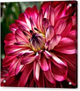 Burgundy Dahlia II Acrylic Print