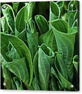 Unfurling Of The Hosta Acrylic Print