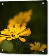 Unidentified Yellow Flower Acrylic Print