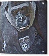 United - Western Lowland Gorillas Acrylic Print