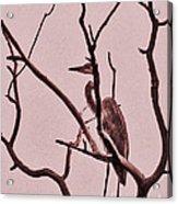 Unknown Bird Acrylic Print