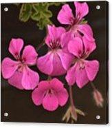 Pink Geranium Flower Acrylic Print