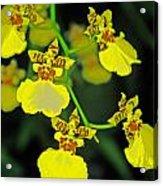 unnamed hybrid Orchid  Acrylic Print
