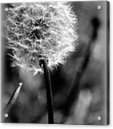 Unspent Wishes Acrylic Print