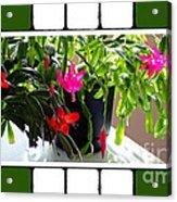 Unusual Simultaneous Bloomers 5 Acrylic Print