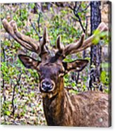 Up Close And Personal With An Elk Acrylic Print