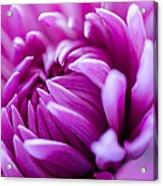 Up-close Flower Power Pink Mum  Acrylic Print