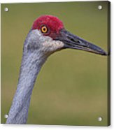 Up Close With A Sandhill Crane Acrylic Print