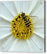 Up Close With The Bee And The Cosmo Acrylic Print