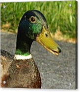 Up Duck And Personal Acrylic Print by David  Ortiz