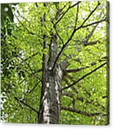 Up The Oak Tree Acrylic Print