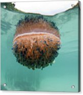 Upside-down Jellyfish Cassiopea Acrylic Print