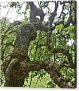 Upside Down Mulberry Acrylic Print