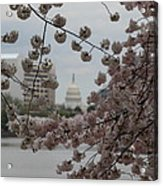 Us Capitol - Cherry Blossoms - Washington Dc - 01133 Acrylic Print by DC Photographer