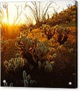 Usa, Arizona, Sonoran Desert, Ocotillo Acrylic Print