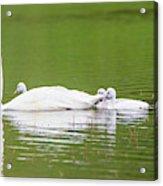 Usa, Montana, Elk Lake, A Trumpeter Acrylic Print