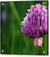 Usa, Oregon, Keizer, Chives In Bloom Acrylic Print