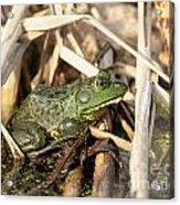 Utah Green Toad Acrylic Print