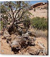 Utah Tree Acrylic Print