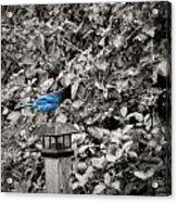 Vagabon Blue Bird Acrylic Print
