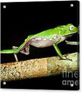 Vaillantis Monkey Frog Acrylic Print