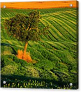 Val D'orcia Tree Acrylic Print