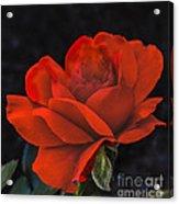 Valentine Rose Acrylic Print by Robert Bales
