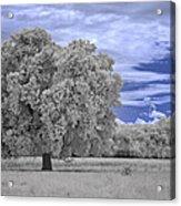 Valley Oak #2 Acrylic Print