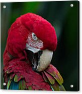 Vanity-close Up Of A Green Winged Macaw Acrylic Print