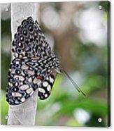 Variable Cracker Butterfly Acrylic Print