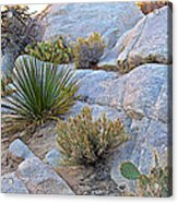 Varied Desert Flora Along Barker Dam Trail In Joshua Tree Np-ca Acrylic Print