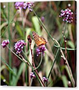 Variegated Fritillary Butterfly Acrylic Print