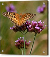 Variegated Fritillary Butterfly Square Acrylic Print