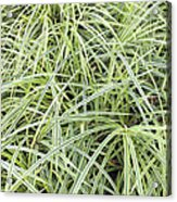 Variegated Monkey Grass Background Acrylic Print