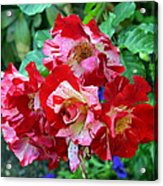 Variegated Multicolored English Roses Acrylic Print
