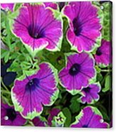 Variegated Petunias Acrylic Print