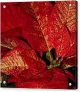 Variegated Poinsettia II Acrylic Print