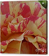 Variegated Rose Acrylic Print