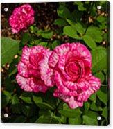 Variegated Roses Acrylic Print