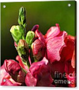 Variegated Snapdragon Acrylic Print