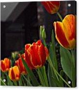 Variegated Tulips Acrylic Print