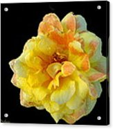 Variegated Yellow Rose Acrylic Print