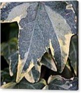 Varigated Ivy Leaves Acrylic Print