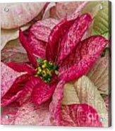 Varigated Poinsettia Acrylic Print