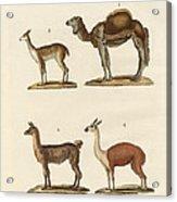 Various Camels Acrylic Print